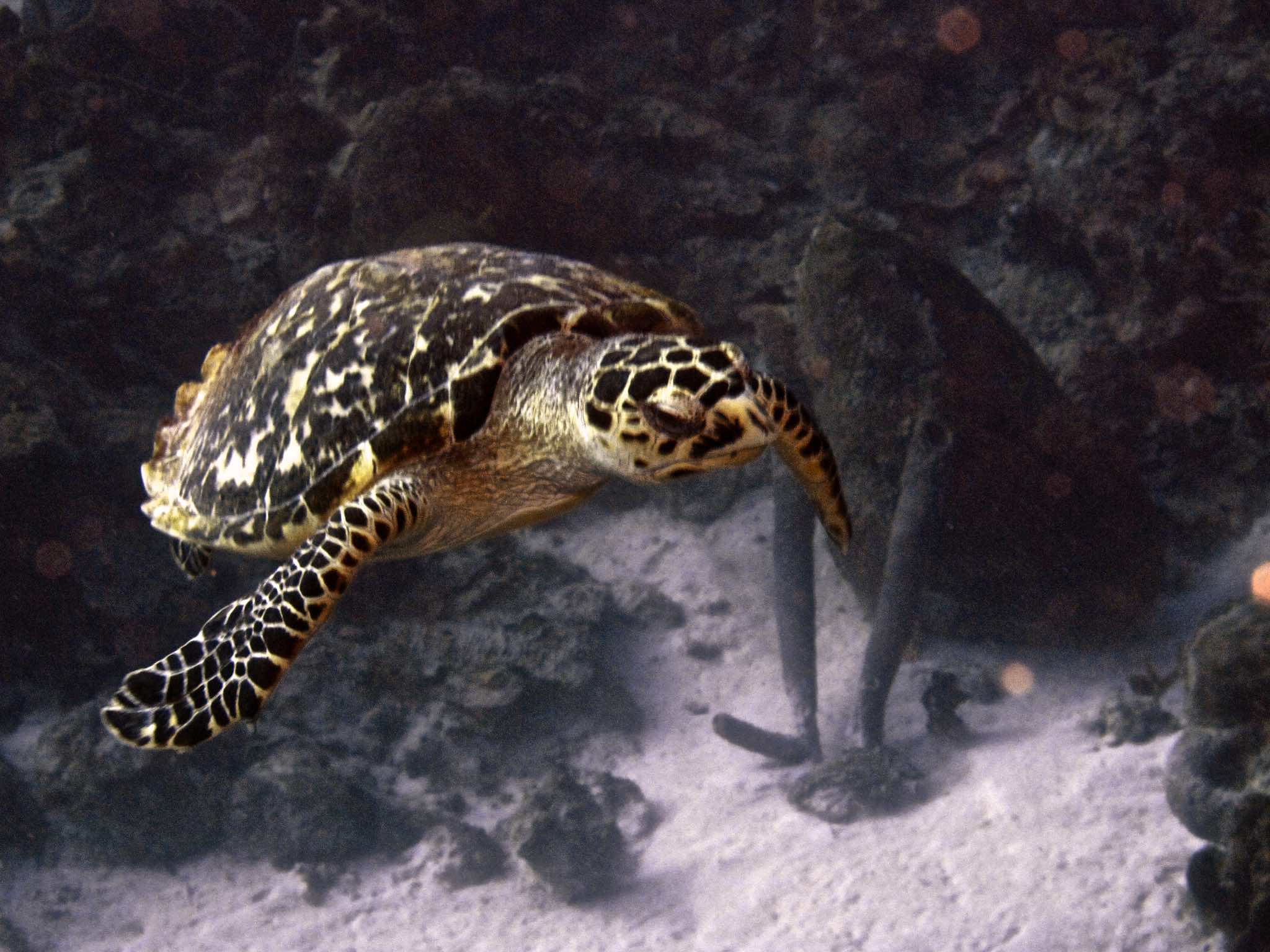 Turtle at Cali's Reef