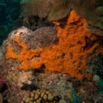 Orange Encrusting Sponge and coral